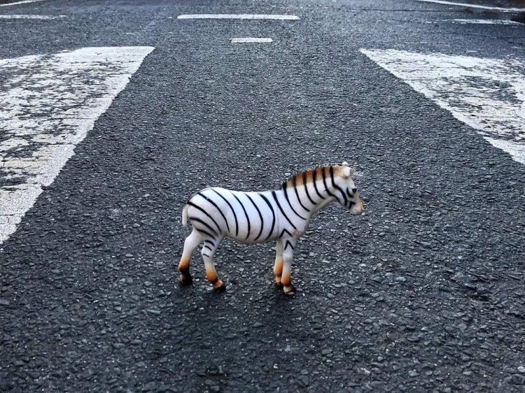 Zebra Pun